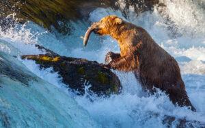Bear catching salmon in a stream in Alaska